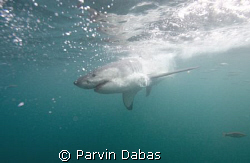 great white by Parvin Dabas 